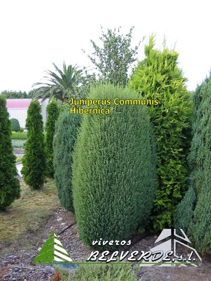 viveros belverde s l juniperus communis hibernica. Black Bedroom Furniture Sets. Home Design Ideas