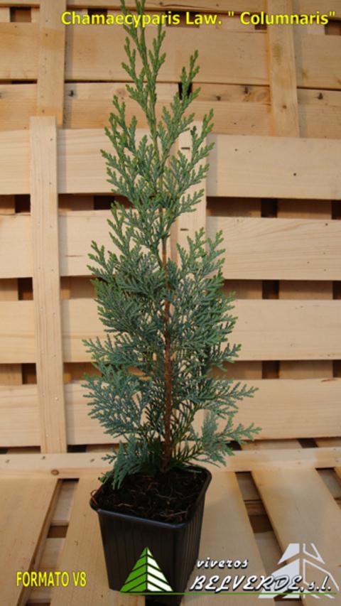 Viveros Belverde - Lawsoniana Columnaris - Viveros Belverde, S.L. - Viveros productores de planta joven de conifera del norte de España.
