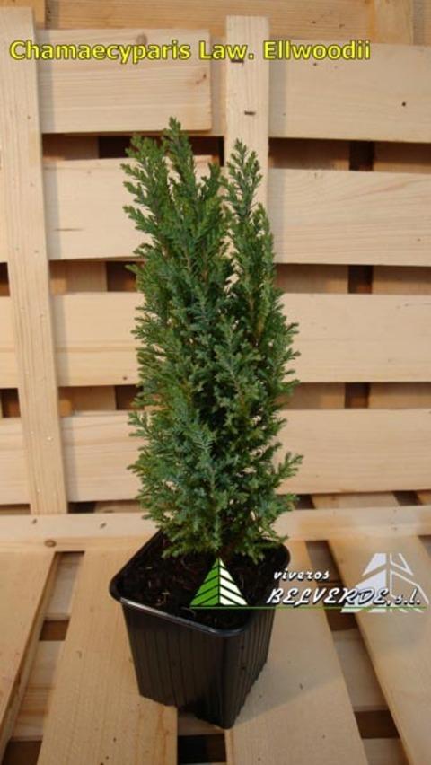 Viveros Belverde - lawsoniana elwoodii - Viveros Belverde, S.L. - Viveros productores de planta joven de conifera del norte de España.