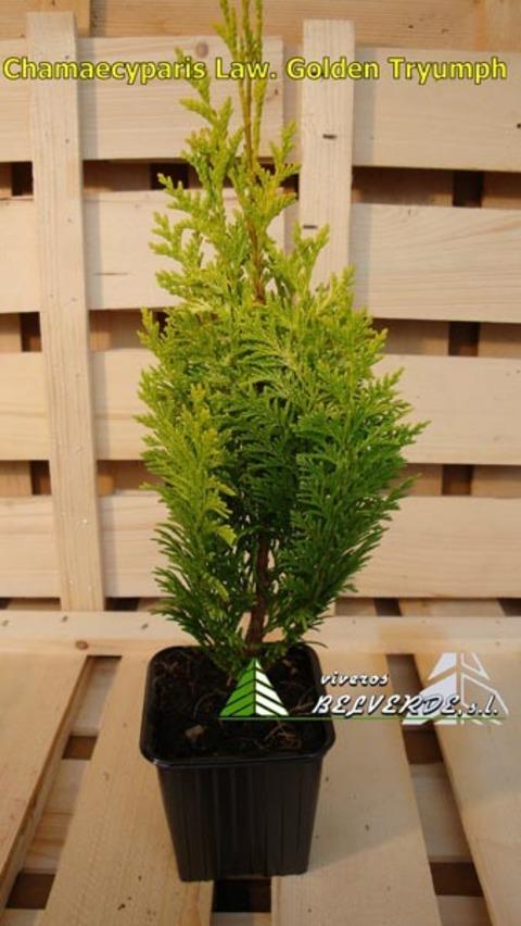 Viveros Belverde - lawsoniana golden tryumph - Viveros Belverde, S.L. - Viveros productores de planta joven de conifera del norte de España.