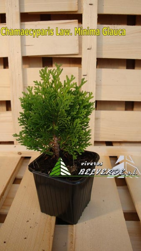 Viveros Belverde - lawsoniana minima glauca - Viveros Belverde, S.L. - Viveros productores de planta joven de conifera del norte de España.