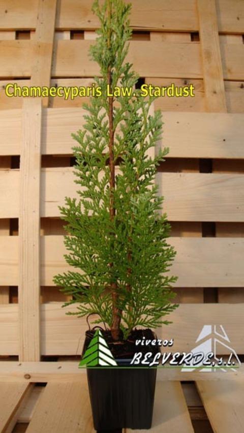 Viveros Belverde - lawsoniana stardust - Viveros Belverde, S.L. - Viveros productores de planta joven de conifera del norte de España.