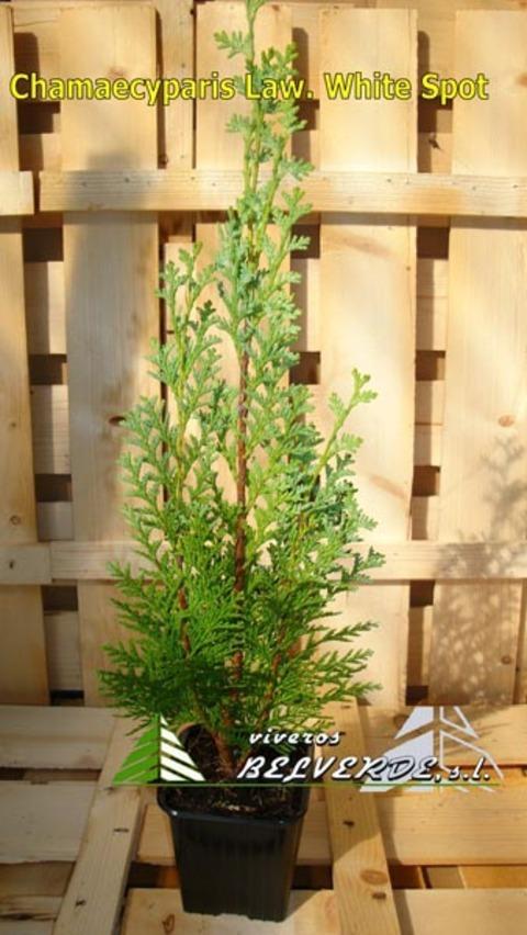 Viveros Belverde - lawsoniana white spot - Viveros Belverde, S.L. - Viveros productores de planta joven de conifera del norte de España.