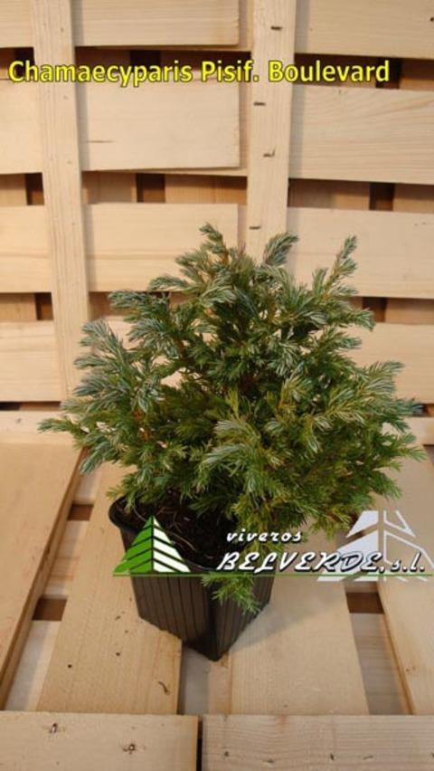 Viveros Belverde - pisifera boulevard - Viveros Belverde, S.L. - Viveros productores de planta joven de conifera del norte de España.