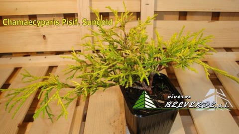 Viveros Belverde - pisifera sungold - Viveros Belverde, S.L. - Viveros productores de planta joven de conifera del norte de España.