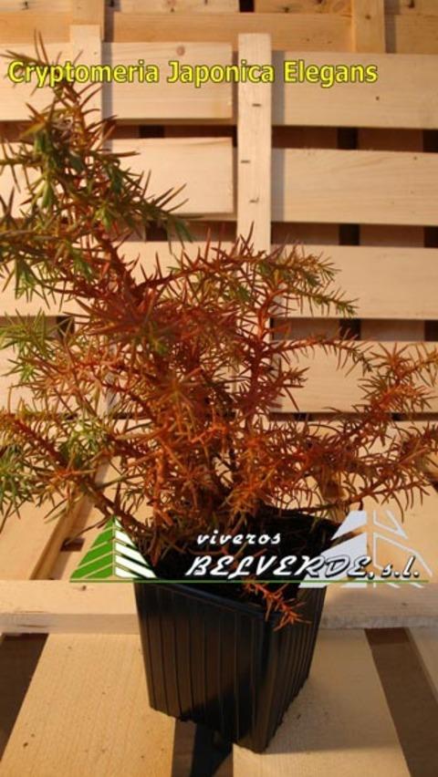 Viveros Belverde - Cryptomeria Japonica Elegans - Viveros Belverde, S.L. - Viveros productores de planta joven de conifera del norte de España.