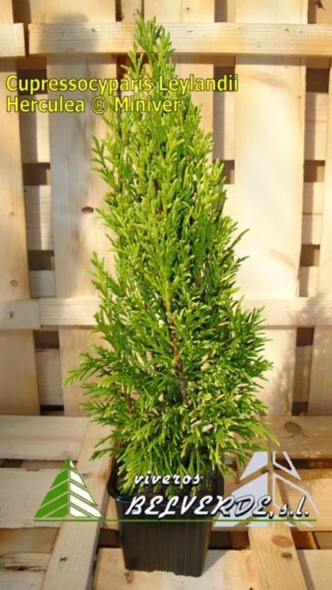 Viveros Belverde - leylandii herculea miniver - Viveros Belverde, S.L. - Viveros productores de planta joven de conifera del norte de España.