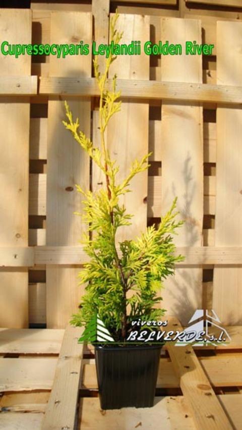 Viveros Belverde - leylandii golden river - Viveros Belverde, S.L. - Viveros productores de planta joven de conifera del norte de España.