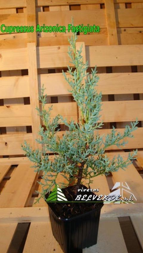 Viveros Belverde - arizonica fastigiata - Viveros Belverde, S.L. - Viveros productores de planta joven de conifera del norte de España.