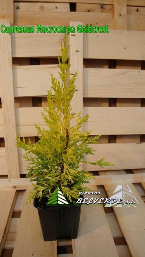 Viveros Belverde - macrocarpa goldcrest - Viveros Belverde, S.L. - Viveros productores de planta joven de conifera del norte de España.