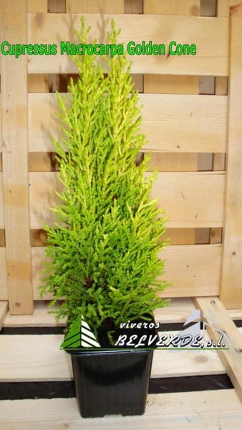 Viveros Belverde - macrocarpa golden cone - Viveros Belverde, S.L. - Viveros productores de planta joven de conifera del norte de España.