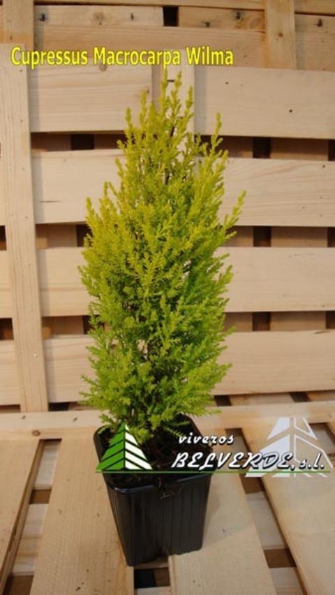 Viveros Belverde - macrocarpa wilma - Viveros Belverde, S.L. - Viveros productores de planta joven de conifera del norte de España.
