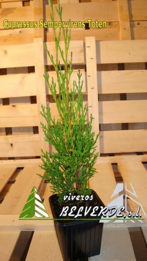 Viveros Belverde - sempervirens toten - Viveros Belverde, S.L. - Viveros productores de planta joven de conifera del norte de España.