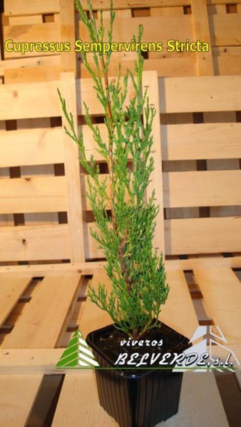 Viveros Belverde - sempervirens stricta - Viveros Belverde, S.L. - Viveros productores de planta joven de conifera del norte de España.