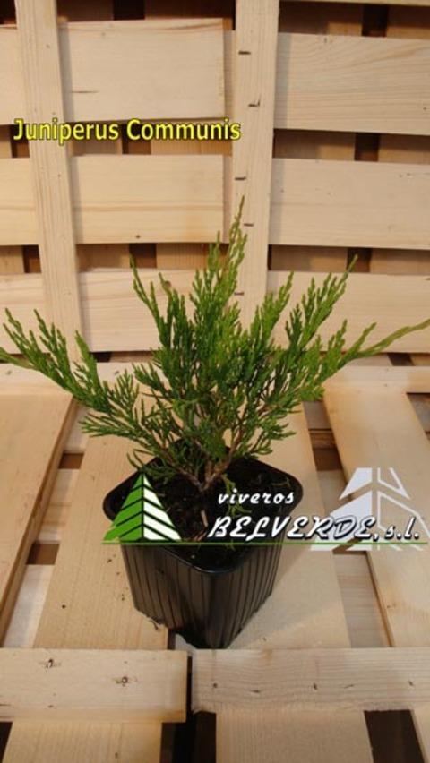 Viveros Belverde - Communis - Viveros Belverde, S.L. - Viveros productores de planta joven de conifera del norte de España.