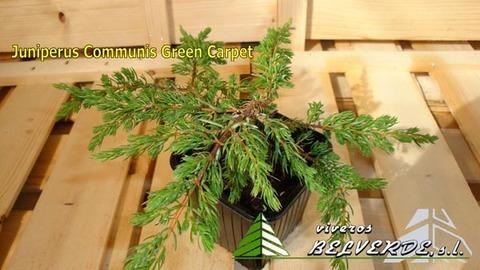 Viveros Belverde - Communis Green Carpet  - Viveros Belverde, S.L. - Viveros productores de planta joven de conifera del norte de España.