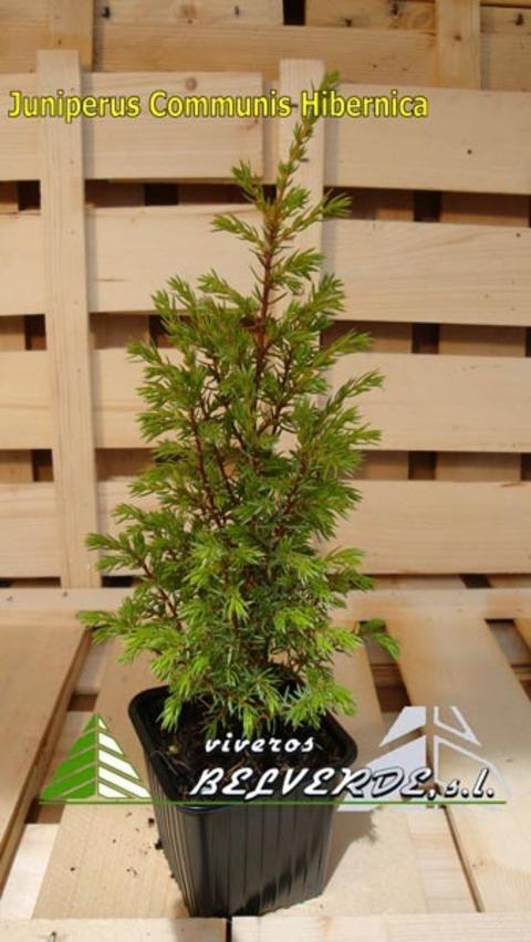 Viveros Belverde - communis hibernica - Viveros Belverde, S.L. - Viveros productores de planta joven de conifera del norte de España.