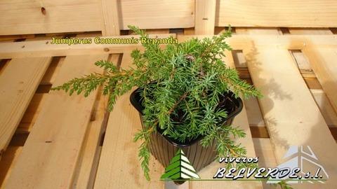 Viveros Belverde - communis repanda - Viveros Belverde, S.L. - Viveros productores de planta joven de conifera del norte de España.