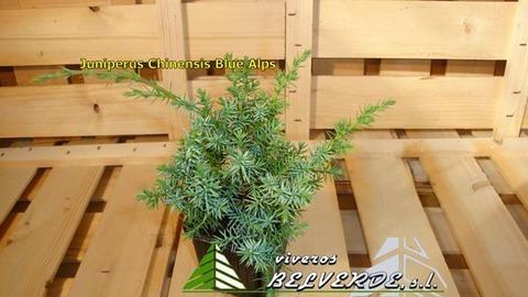 Viveros Belverde - chinensis blue alps - Viveros Belverde, S.L. - Viveros productores de planta joven de conifera del norte de España.