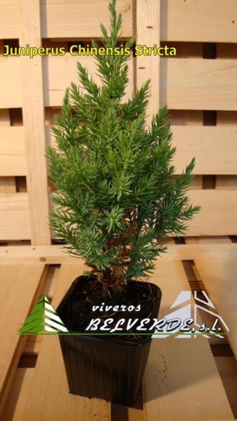 Viveros Belverde - chinensis stricta - Viveros Belverde, S.L. - Viveros productores de planta joven de conifera del norte de España.
