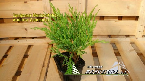 Viveros Belverde - horizontalis andorra compacta - Viveros Belverde, S.L. - Viveros productores de planta joven de conifera del norte de España.