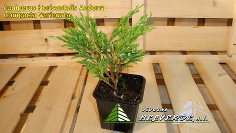 Viveros Belverde - horizontalis andorra compacta variegata - Viveros Belverde, S.L. - Viveros productores de planta joven de conifera del norte de España.