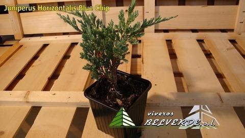 Viveros Belverde - horizontalis blue chip - Viveros Belverde, S.L. - Viveros productores de planta joven de conifera del norte de España.