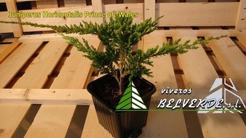 Viveros Belverde - horizontalis prince of wales - Viveros Belverde, S.L. - Viveros productores de planta joven de conifera del norte de España.