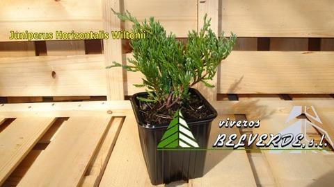 Viveros Belverde - horizontalis wiltonii - Viveros Belverde, S.L. - Viveros productores de planta joven de conifera del norte de España.