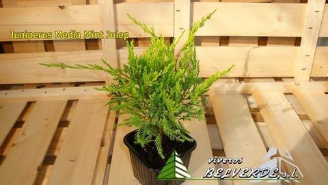 Viveros Belverde - media mint julep - Viveros Belverde, S.L. - Viveros productores de planta joven de conifera del norte de España.