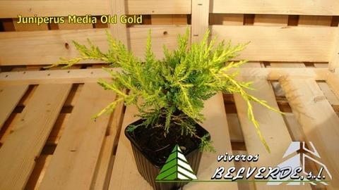 Viveros Belverde - media old gold - Viveros Belverde, S.L. - Viveros productores de planta joven de conifera del norte de España.
