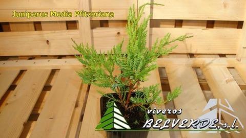 Viveros Belverde - media pfitzeriana - Viveros Belverde, S.L. - Viveros productores de planta joven de conifera del norte de España.