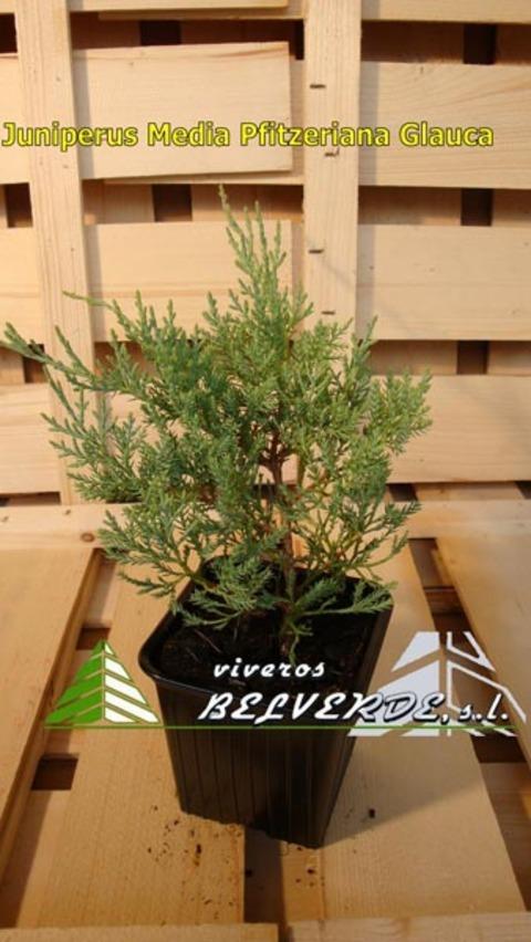 Viveros Belverde - media pfitzeriana glauca - Viveros Belverde, S.L. - Viveros productores de planta joven de conifera del norte de España.