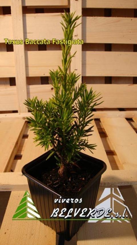 Viveros Belverde - baccata fastigiata - Viveros Belverde, S.L. - Viveros productores de planta joven de conifera del norte de España.