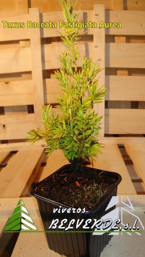 Viveros Belverde - baccata fastigiata aurea - Viveros Belverde, S.L. - Viveros productores de planta joven de conifera del norte de España.