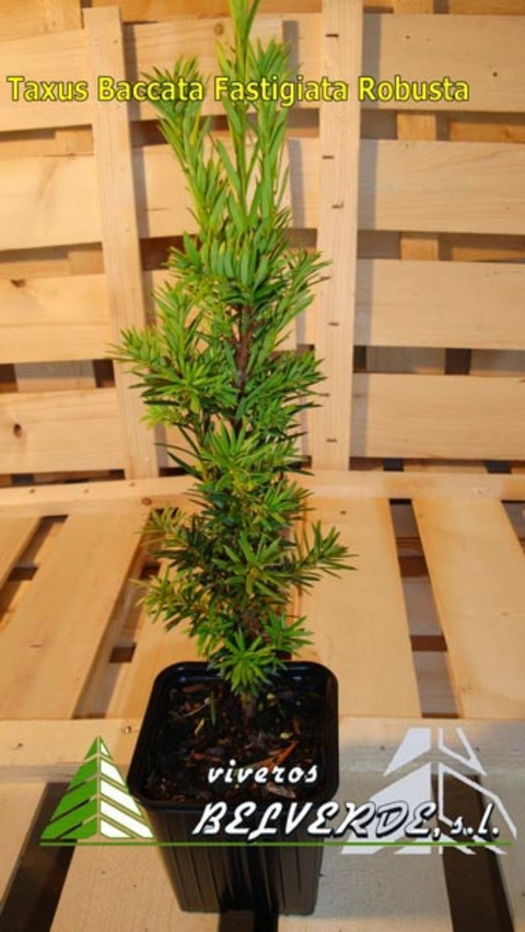 Viveros Belverde - baccata fastigiata robusta - Viveros Belverde, S.L. - Viveros productores de planta joven de conifera del norte de España.