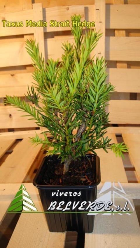 Viveros Belverde - media strait hedge - Viveros Belverde, S.L. - Viveros productores de planta joven de conifera del norte de España.