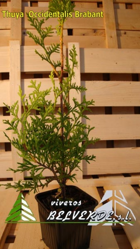 Viveros Belverde - occidentalis brabant - Viveros Belverde, S.L. - Viveros productores de planta joven de conifera del norte de España.