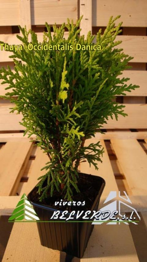 Viveros Belverde - occidentalis danica - Viveros Belverde, S.L. - Viveros productores de planta joven de conifera del norte de España.