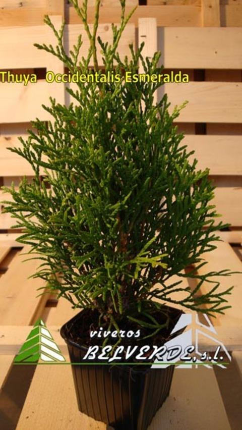 Viveros Belverde - occidentalis esmeralda - Viveros Belverde, S.L. - Viveros productores de planta joven de conifera del norte de España.
