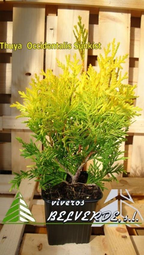 Viveros Belverde - occidentalis sunkist - Viveros Belverde, S.L. - Viveros productores de planta joven de conifera del norte de España.
