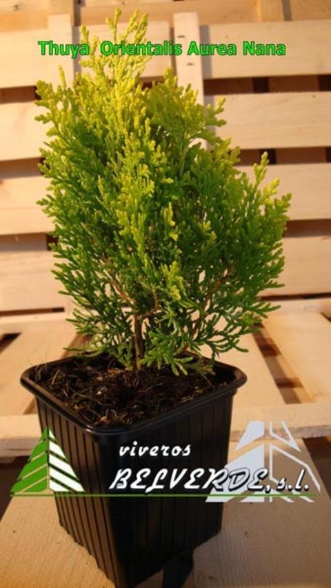 Viveros Belverde - orientalis aurea nana - Viveros Belverde, S.L. - Viveros productores de planta joven de conifera del norte de España.