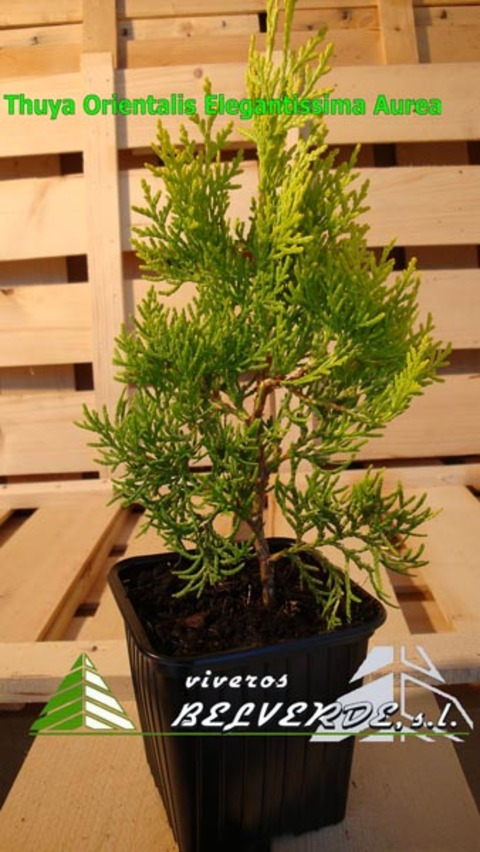 Viveros Belverde - orientalis elegantissima aurea - Viveros Belverde, S.L. - Viveros productores de planta joven de conifera del norte de España.