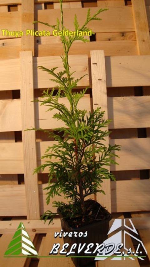 Viveros Belverde - plicata gelderland - Viveros Belverde, S.L. - Viveros productores de planta joven de conifera del norte de España.